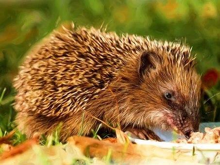 Hedgehog Marking...