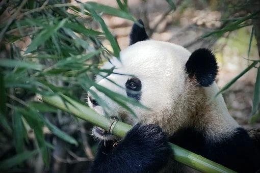 Wanted : Investors For Panda Mike...