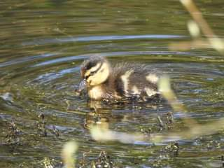 May be an image of grebe, body of water and nature